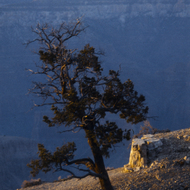 A tree on the edge of the Grand Canyon, at sunset.