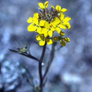 A flowering Western Wallflower in the Grand Canyon.