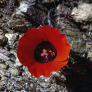 A Mariposa Lily in the Grand Canyon.