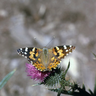 A Fritillary butterfly on a thistle.