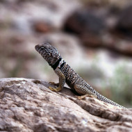 A Grand Canyon Collared Lizard.