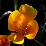 A California Poppy.