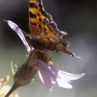 A fritillary butterfly on a flower.