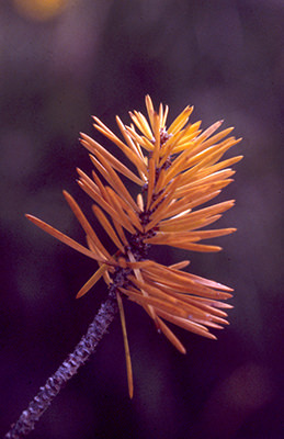 Thumbnail image of Pine needles.