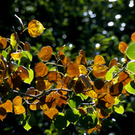 Backlit leaves.