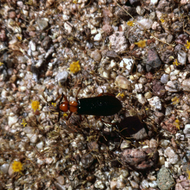 An unidentified insect crawling along Grand Canyon gravel.
