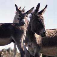 Wild burros in the Grand Canyon before they were removed.