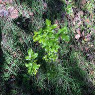 Poison Oak early in Spring on the Sonoma Overlook Trail.