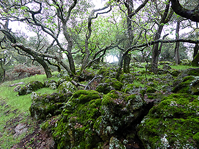 Thumbnail image ofMoss covered rocks and oaks on the Montini Open...