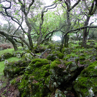 Moss covered rocks and oaks on the Montini Open Space Preserve in Sonoma.