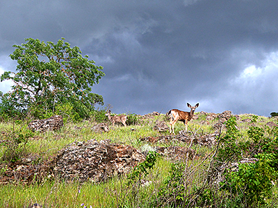 Thumbnail image of Deer on the Sonoma Overlook Trail on a stormy...