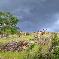 Deer on the Sonoma Overlook Trail on a stormy day in Spring.