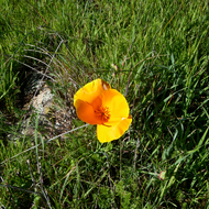 A California Golden Poppy in Spring on the Sonoma Overlook Trail.
