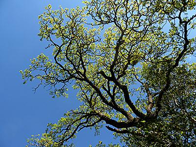 Thumbnail image ofAn oak tree in Spring.