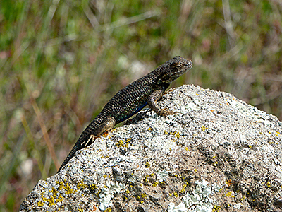 Thumbnail image of A Fence Lizard sunning itself on a rock on the...