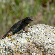 A Fence Lizard sunning itself on a rock on the Montini Open Space Preserve.
