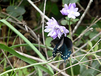 Thumbnail image ofA Swallowtail Butterfly on Blue Dicks flowers.