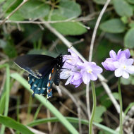 A Swallowtail Butterfly on Blue Dicks flowers.