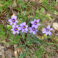 Blue-eyed Grass in the wild.