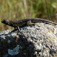 A Western Fence Lizard catching some sun.
