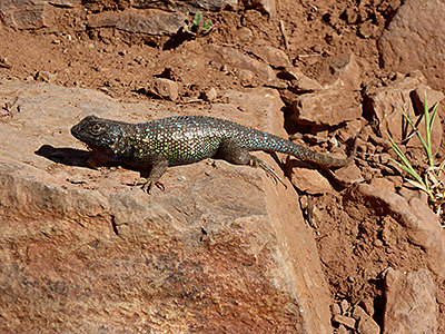 Thumbnail image of A colorful Western Fence Lizard catching some...