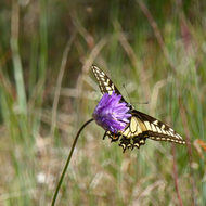 A Swallowtail Butterfly on a Blue Dicks flower.