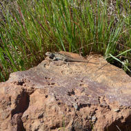 A colorful Western Fence Lizard catching some sun.