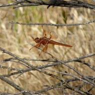 A Flame Skimmer dragonfly at rest on a trail.