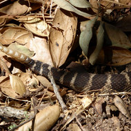 A rattlesnake sliding on the forest floor, it's tail in view.