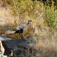 A wild turkey in the wild.