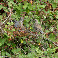 California Quail in a blackberry bush.