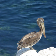A pelican in the Monterey Bay Harbor