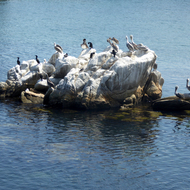 Pelicans and other water birds on a small rock island in Monterey Bay.