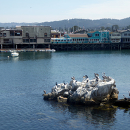 Pelicans and other water birds on a small rock island in Monterey Bay with a pier in the background.