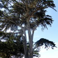 A wonderful Monterey Cypress tree beside the harbor.