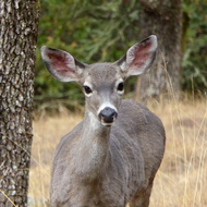 A California Mule Deer beside the Sonoma Overlook Trail.