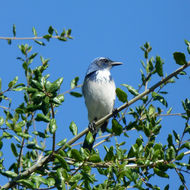 A Western Scrub Jay perched at the top of an oak tree.