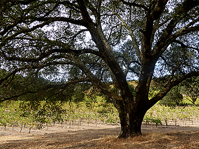 Thumbnail image of A Sonoma County vineyard view.