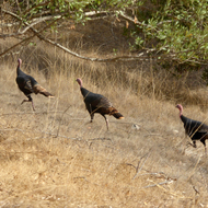 A flock of wild turkeys on the Montini Preserve.
