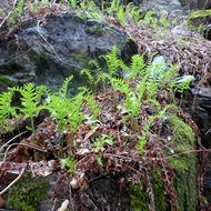 Young ferns responding to winter rain on the Sonoma Overlook Trail.