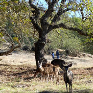 Deer and hikers on the Sonoma Overlook Trail.