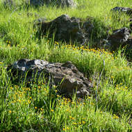 Rocks and flowers in early spring in Sonoma County.