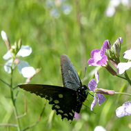 A swallowtail butterfly hanging from a flower.