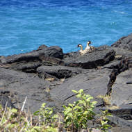 A pair of Nene nesting geese on the Big Island of Hawai'i.