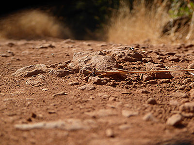 Thumbnail image ofAnts being industrious on a dusty trail.