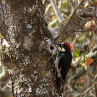 An Acorn Woodpecker in the wild.