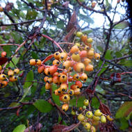 Toyon berries in the rain.
