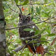 A Great Horned Owl perched in a Bay Laurel tree on the Montini Preserve in Sonoma.