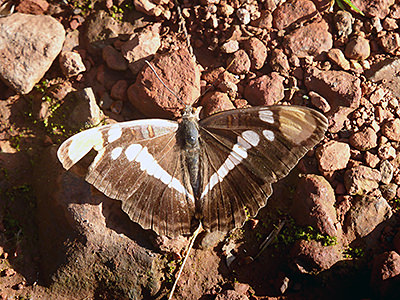 Thumbnail image of A California Sister butterfly resting on a trail.