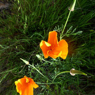 A California Poppy on the Sonoma Overlook Trail.